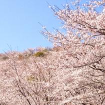 13.花立山の桜