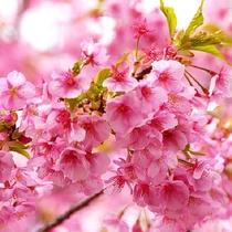 河津桜~見頃は例年2月上旬から約1ヶ月