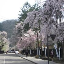 *角館の桜/武家屋敷通りには樹齢300年の古木のしだれ桜もあり、約400本の見事な景観が広がります。