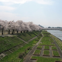 *角館の桜/横町橋近くの桜並木。土手草の緑と桜のピンク色の原風景が広がります。