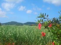 さとうきび畑とアカバナー