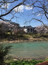 桜 対岸から