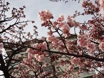 ホテル前の桜(H26.01.25)