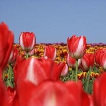 【となみチューリップフェア】辺り一面に広がるチューリップ☆お花のいい香りもまた魅力のひとつです♪