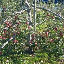 *冬桜リンゴ