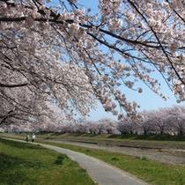 *桜の季節
