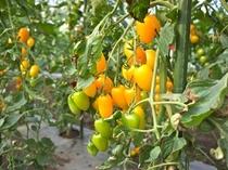 名物スイートミニトマト