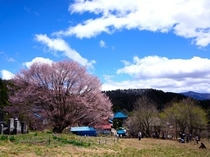 車で25分のところにある「天王桜」