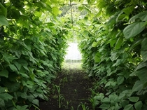 いんげんのトンネル
