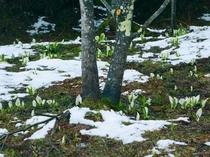 ロッヂエリア内に咲く水芭蕉
