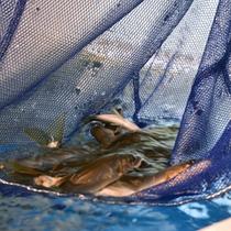 *旅館生簀/錦帯橋の近くで水揚げされた天然鮎。粋がいいものは新鮮な証拠です!