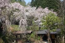 内庭のしだれ桜