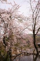 三宝の湯、渡り階段からの桜
