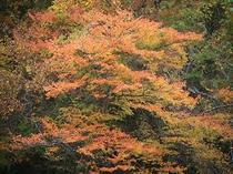紅葉(黄)