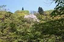 新緑の中に咲く山桜