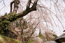 館内中庭からの桜