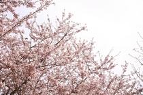 旅館横に咲く桜