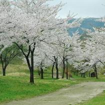 桜公園 ホテルよりお車で約5分 春のシーズンは桜が一面に・・・