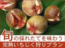 旬の無花果「蓬莱柿」を採れたてで味わう!いちじく狩りプラン