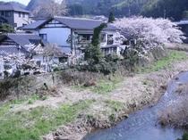 小田川の桜