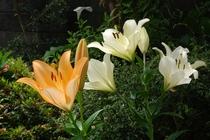 ユリ(季節折々の草花もお楽しみいただけます)