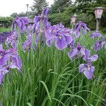 長井あやめまつり(6月中旬から7月上旬あやめまつりが開催されます。)