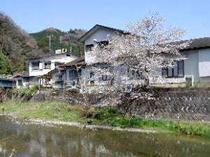 川面に咲く巨大桜