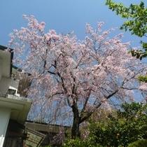 湯楽 中庭のしだれ桜