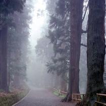 朝霧の中尊寺月見坂。杉の大木の陰から武者が現れそうな佇まい
