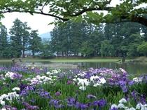 ◇毛越寺 大泉が池 あやめ祭り6-20~7-10