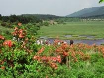 レンゲツツジ 八島湿原