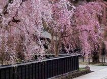 武家屋敷の枝垂桜。