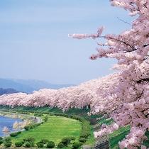 【春】角館の桜 4月下旬頃~ 国の名勝・天然記念物指定の桜は、春には町中を薄紅色に染める。
