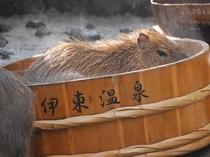 カピバラの温泉浴!!