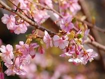 河津桜満開!!