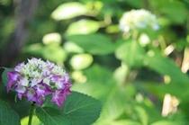 紫アジサイ