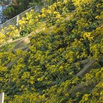 *日当たりのよい斜面に秋咲くつわぶきの花