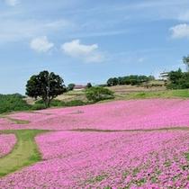 マザー牧場(ペチュニア)