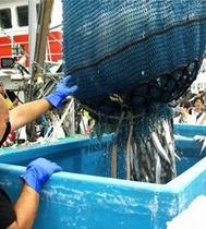 気仙沼魚市場 秋刀魚水揚げの様子