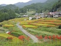 江里山の棚田に咲く彼岸花♪
