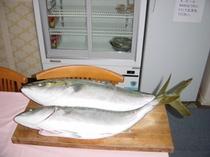 加太で釣れたメジロ。和歌山は魚が豊富!!秋はお楽しみ!!