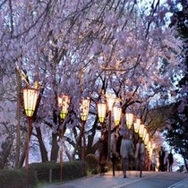 兼六園 夜桜
