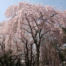 高田観桜会