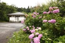 【6月~露天風呂へ続く道】紫陽花が咲き誇る向こうに、貸切露天風呂がございます