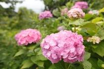 【6月~露天風呂へ続く道】色とりどりの紫陽花の花が咲き誇ります