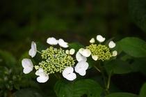 【6月~露天風呂へ続く道】新緑と紫陽花の花が美しい季節です