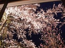 【桜を眺めて温泉旅】「また今年もお部屋からこの桜を見に来たよ」というお客様もいらっしゃいます