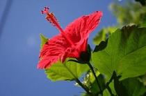 とうべえの庭に咲くハイビスカス