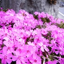 棚田近くの芝桜(4月下旬〜5月上旬)