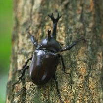 夏の探検隊で発見【かぶと虫】本物の自然に触れて下さい。